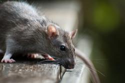 Ratte auf einer Terrasse