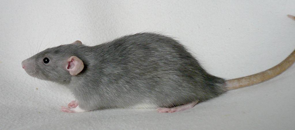 Bild einer Ratte